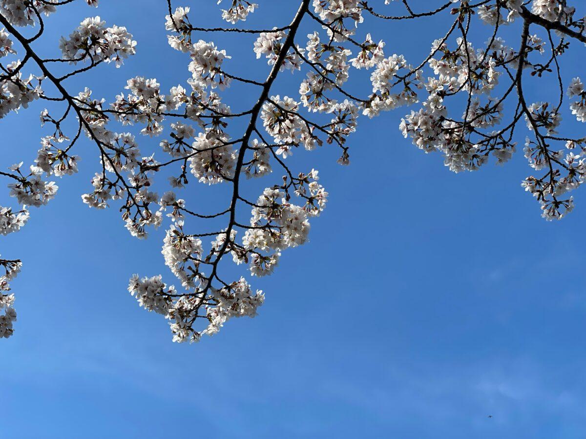 酒々井総合公園の桜